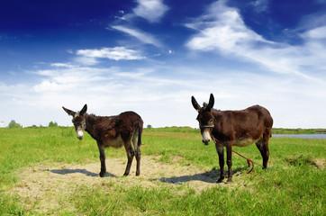 two Spanish donkeys