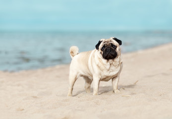 Pug is standing at the sea