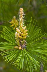 The blooming pine tree closeup