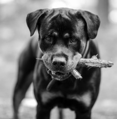 Rottweiler portrait with stick in mouth ready for playing