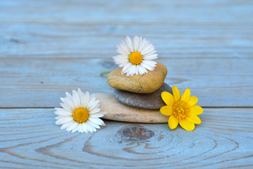 Zen stones on old wooden background with daisy field flowers