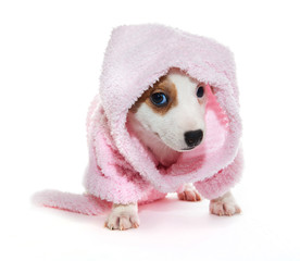 Jack Russell Terrier puppy in a pink bathrobe