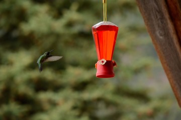 Hummingbird Flies Rapidly to a Feeder