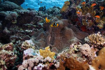 Aqua marine life Sea anemone clownfish