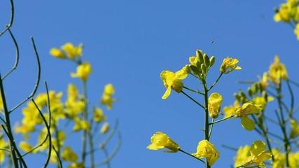 Insekten umschwärmen gelbe Raps - blüten vor der Kamera