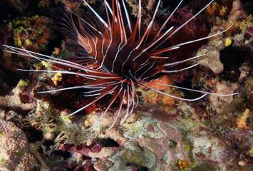 Lionfish at scuba diving