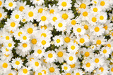 Lovely blossom daisy flowers background