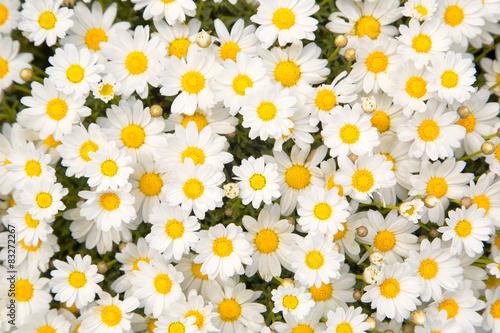 Obraz na Plexi Lovely blossom daisy flowers background