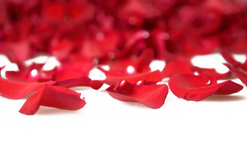 petals of red roses