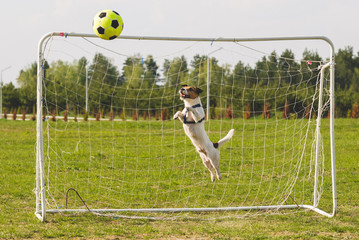 Funny dog playing football as a goalkeeper