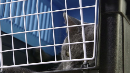 Face of relaxed gray cat ready to travel in pet cage carrier