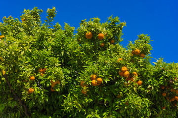 oranges hanging tree.  mandarin oranges. Juicy oranges on the tr