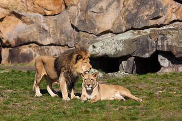 Lion and Lioness. Lion Couple.   Male and Female Lions