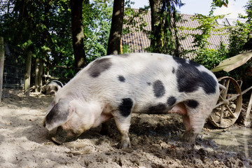 pet pig on a farm