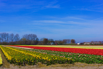 tulip flowers field.  colorful tulip farm
