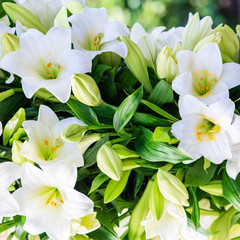 white lily. beautiful flowers