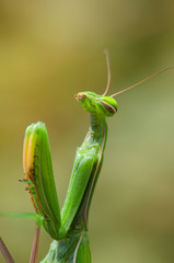 praying mantis motionless on a branch