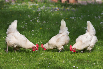 Chicken on the meadow, breed: Bresse
