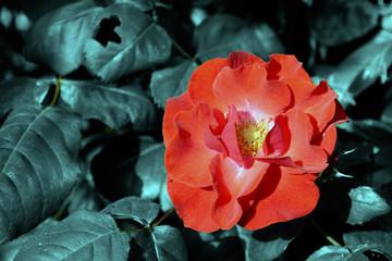 Rosa rossa aperta