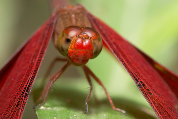 Portrait of dragonfly - Russet Percher