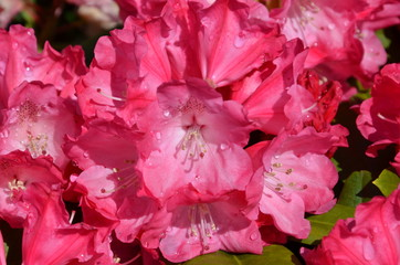 Rhododendronblüte rosa pink