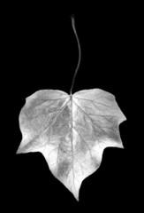 digital photogram of ivy leaf isolated