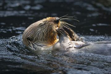 Zeeotter eet een visje.