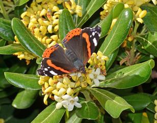 farfalla vanessa atalanta su fiori di pittosporo