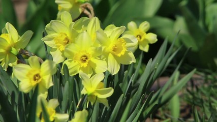 Colorful garden – Narcissus