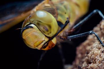 Eye dragonflies
