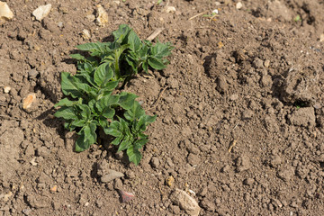 Potato plant growing on an allotment