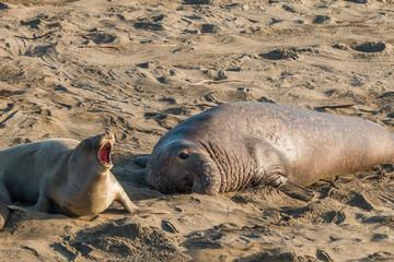 Elephant Seals on the Beach
