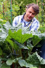 Gärtner hockt zwischen Rhabarberpflanzen, erntet