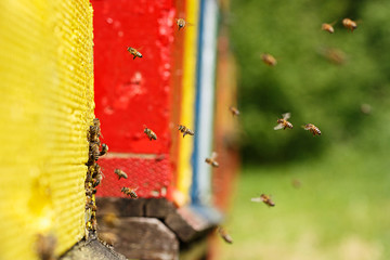 Domesticated honeybees returning to their apiary