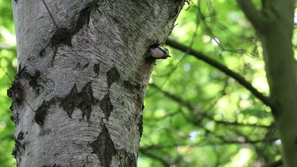 Buntspecht schaut nach dem Füttern aus seiner Nisthöhle heraus