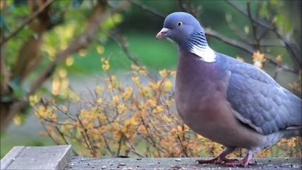 portrait pigeon closeup