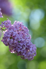 Syringa flower in park in  sunny day in May