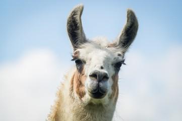 Kopf von Braun-weißem Lama, hübsche Wimpern