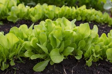 Свежий салат на грядке.
