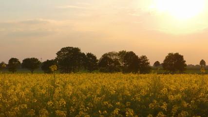 Beautiful Canola Field in the Evening Sun