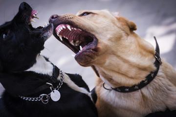 Labrador defendiendose