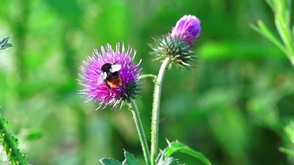 Bumble bee collects nectar on flowers