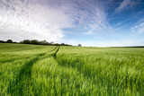 Barley Field - 83331234