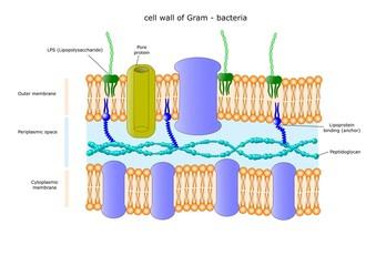 sezione della membrana di un batterio gram negativo