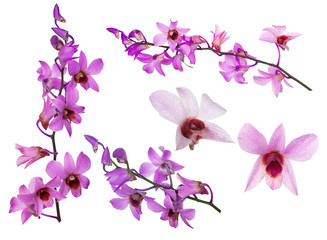 set of pink orchid flowers with purple centers