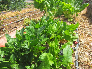 spinach and chard with drip irrigation