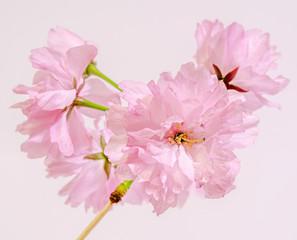 Pink tree flowers of Prunus serrulata Kanzan, japanese cherry.