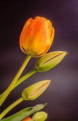Orange tulip flower, floral arrangement, dark background.