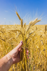 Stems of wheat in the hand