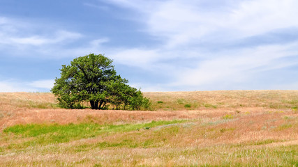 Lonely tree in the Volga steppes